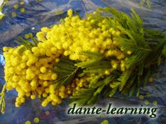 黄色い花-ミモザ