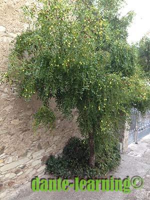 ジュッジョレの木